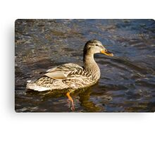 Mallard Duck Art Decor Canvas Print