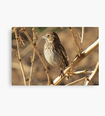 Lark Bunting (Non-breeding) Canvas Print