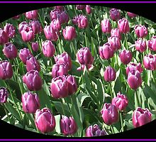 Sunlit Magenta Tulips Vignette by BlueMoonRose