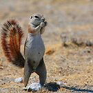Cape Ground Squirrel by naturalnomad