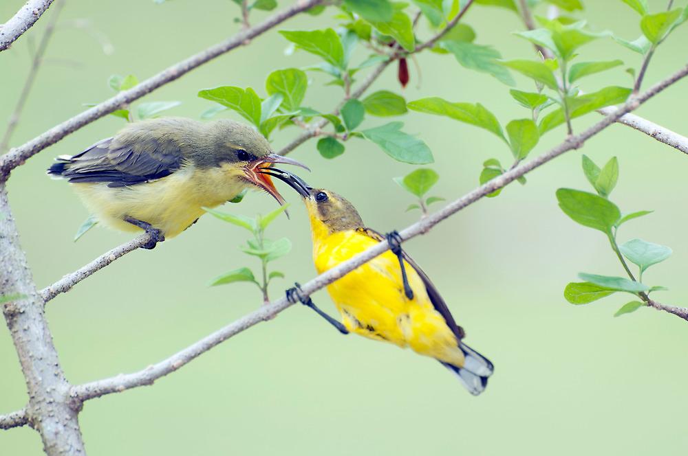 Grubs Up - sunbird feeding babes  by Jenny Dean