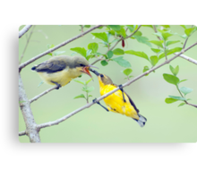 Grubs Up - sunbird feeding babes  Canvas Print