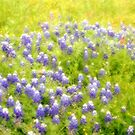 Bluebonnet Blues by Carolyn  Fletcher