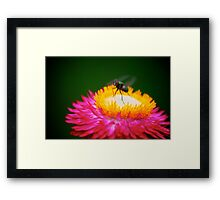 Hot Pink Flower with Fly Framed Print