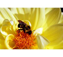 Yellow Flower with Bee Photographic Print