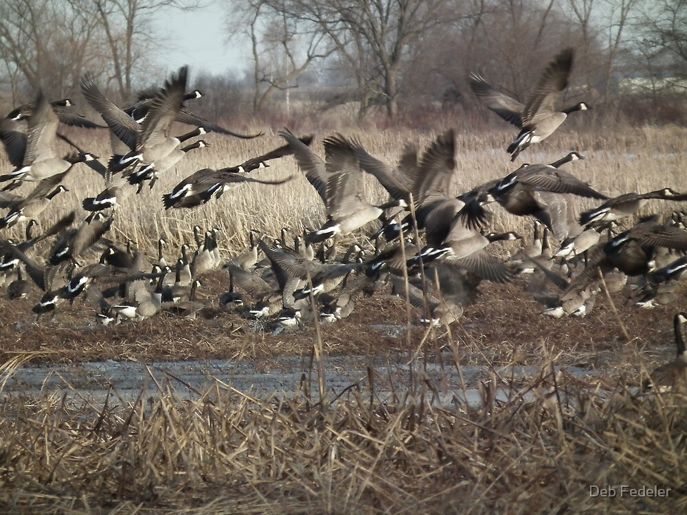 Mass Canada Geese Take Off by Deb Fedeler