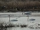 Trumpeter Swans Three at Sweet Marsh by Deb Fedeler