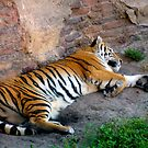 Big Cat Snooze by dgscotland