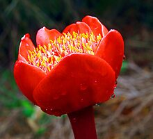 Blood Lily #5 (Haemanthus coccineus) by Bev Pascoe