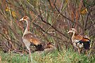 Egyptian Geese Family by Carole-Anne