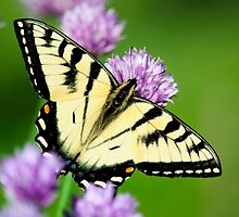 Eastern Tiger Swallowtail Butterfly Art by Christina Rollo