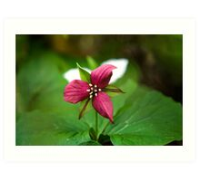 Red Trillium Wildflower Art Art Print