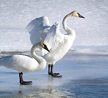 Swan Pair On Ice by A.M. Ruttle