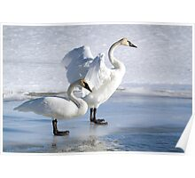 Swan Pair On Ice Poster