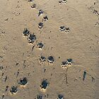 Raccoon Tracks by elasita