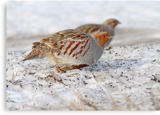 Today's Forecast: Overcast with Periods of Gray Partridge ;) by Bill McMullen