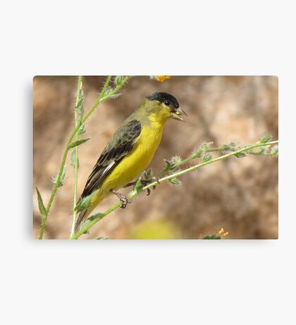Lesser Goldfinch (Male) Canvas Print