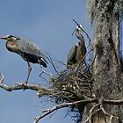 Nesting Pair of Great Blue Herons High in a  Dead Tree by Robert H Carney