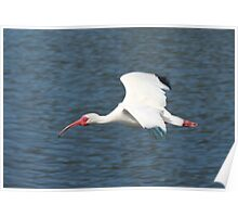 Ibis on the Wing Poster