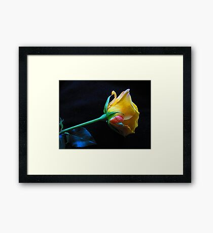 Yellow Rose Of Brooklyn Framed Print