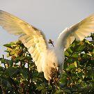 Corella Wingspan by Bernie Stronner