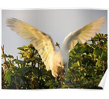Corella Wingspan Poster