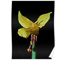 Yellow daffodil type Sth Nannup 19820828 0007 Poster