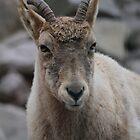 Mountain Goat by karina5