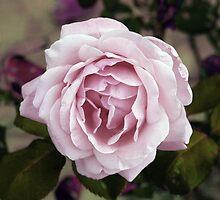 Tuscan Rose by Karen Lewis