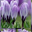 Beautiful Crocus Collage by Sandra Cockayne