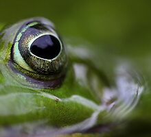 Portrait of wild Waterfrog by Remo Savisaar