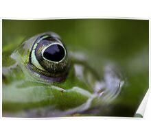 Portrait of wild Waterfrog Poster