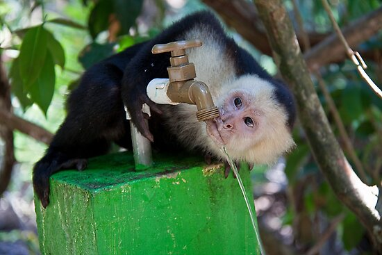 Costa Rica. Manuel Antonio NP.  White-faced capuchin monkey. by vadim19