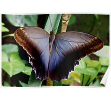 the Pale or Giant Owl butterfly (Caligo memnon) Poster
