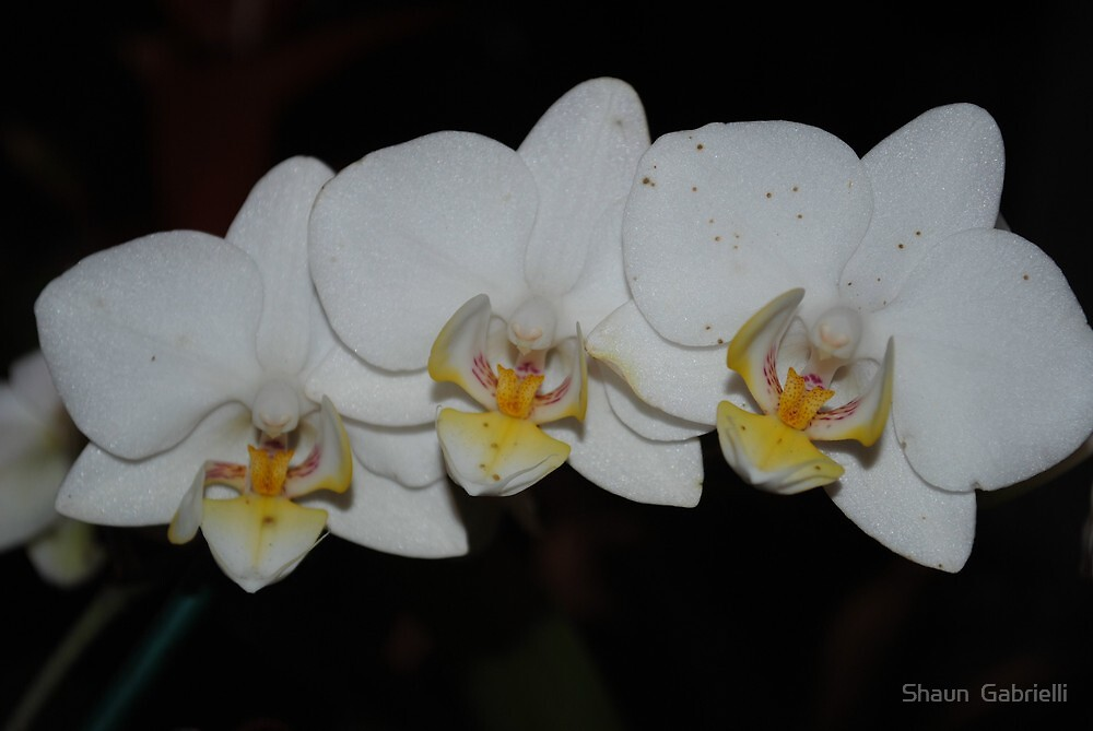 White Orchids by Shaun  Gabrielli