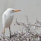 Cattle Egret (Bubulcus ibis) by Warren. A. Williams