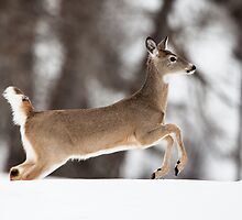 Whitetail Deer by Jim Stiles