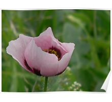 Wild Opium Poppy! REALLY? Poster