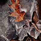 Oak Leaf encased in Ice by jrier