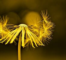 Dandelion Gold by JohnDSmith