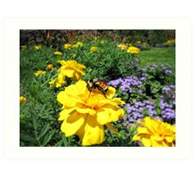 Close Up of a Bumble Bee Pollinating a Yellow Marigold Garden Plant ~ Insect Photography Art Print