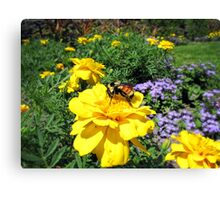 Close Up of a Bumble Bee Pollinating a Yellow Marigold Garden Plant ~ Insect Photography Canvas Print