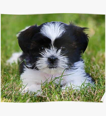 Gracie puppy Poster