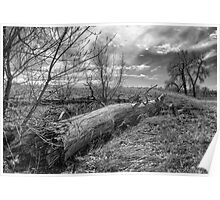 Tired Cottonwood Tree Poster