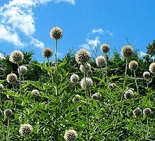 Fuzzy Pom Pom Flowers on a Grassy Hilly Slope on a Summer Day  by Chantal PhotoPix