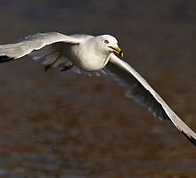 Gull Glider by Scott Denny