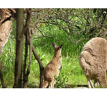 MMM! Mums busy grazing, Kangaroos on Patio Wall. Photographic Print