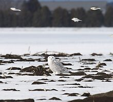 Snow buntings sailing past Snowy Momma by Heather King