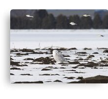 Snow buntings sailing past Snowy Momma Canvas Print
