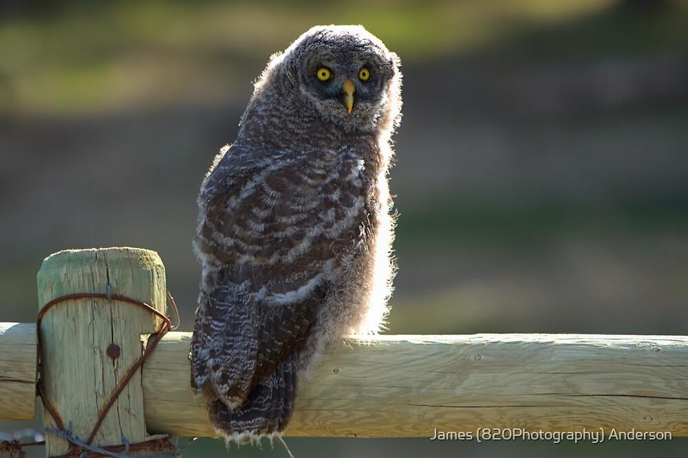 Juvenile Great Grey Owl by JamesA1